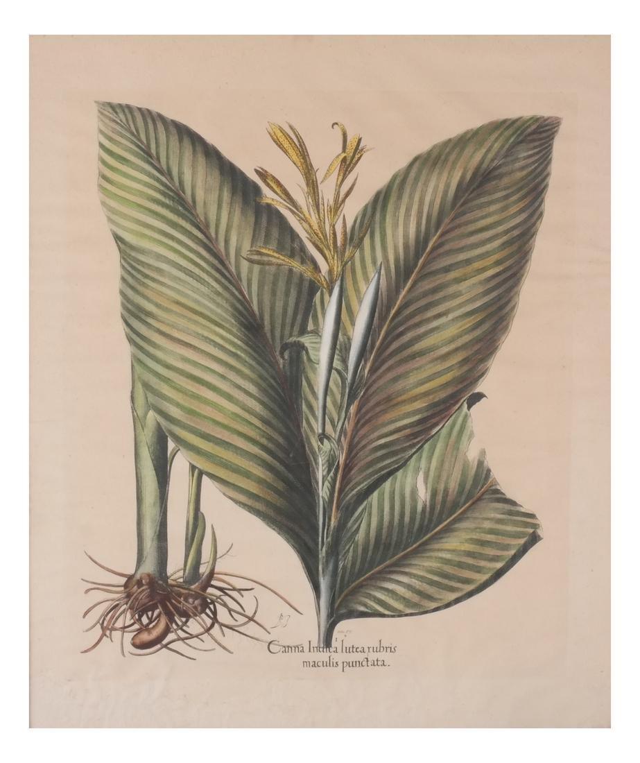 Two Basilius Besler  Felix Verity Horticultural Prints - 6