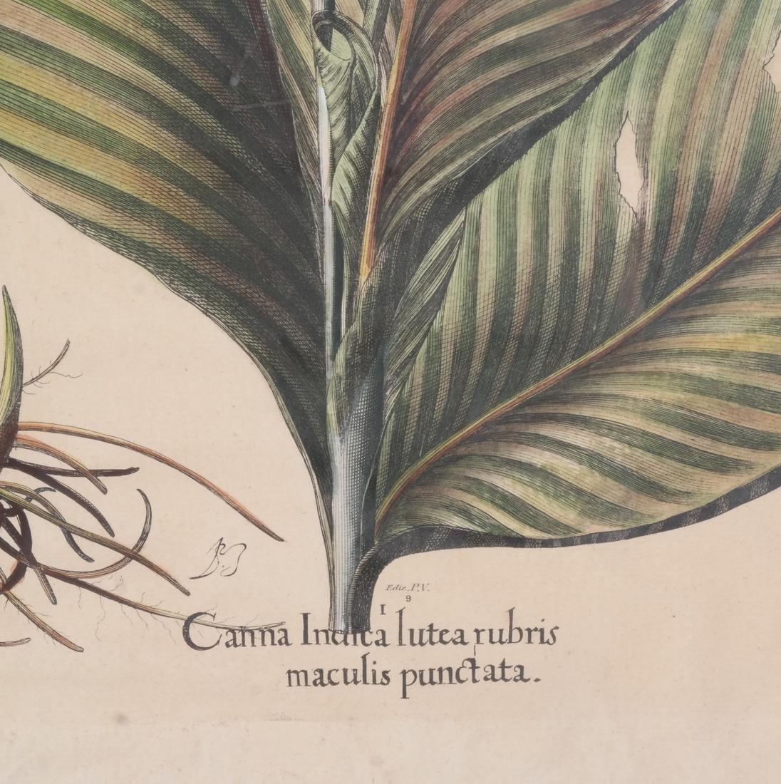 Two Basilius Besler  Felix Verity Horticultural Prints - 8