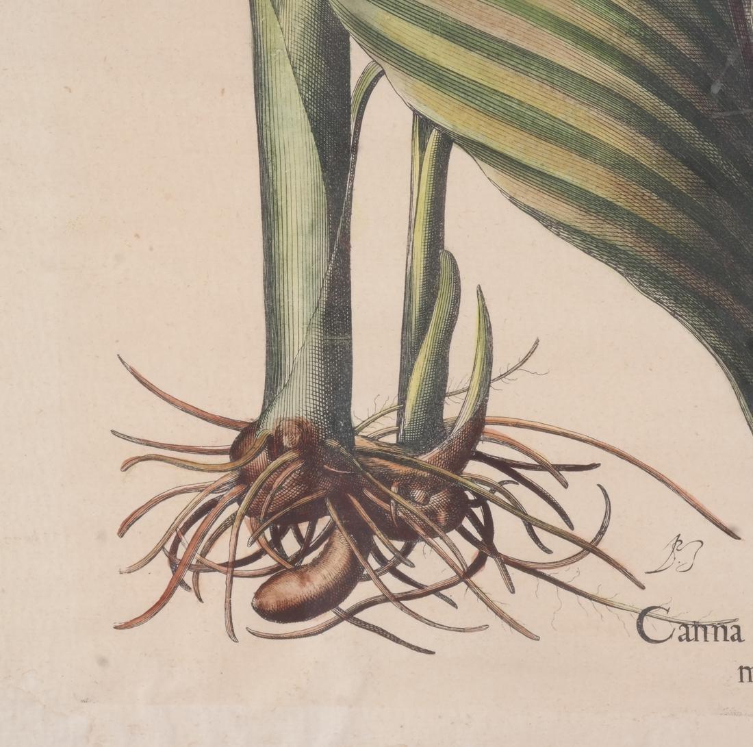 Two Basilius Besler  Felix Verity Horticultural Prints - 9