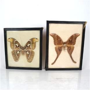 Two Framed Giant Moth Specimens