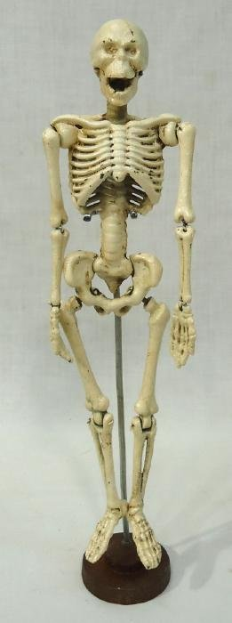 C.I. Articulated Skeleton