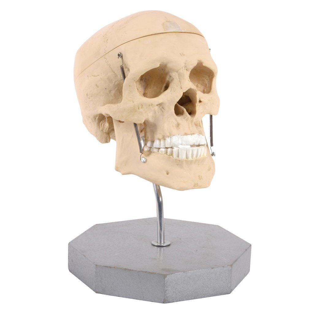 A paste anatomical skull with detachable cranial vault