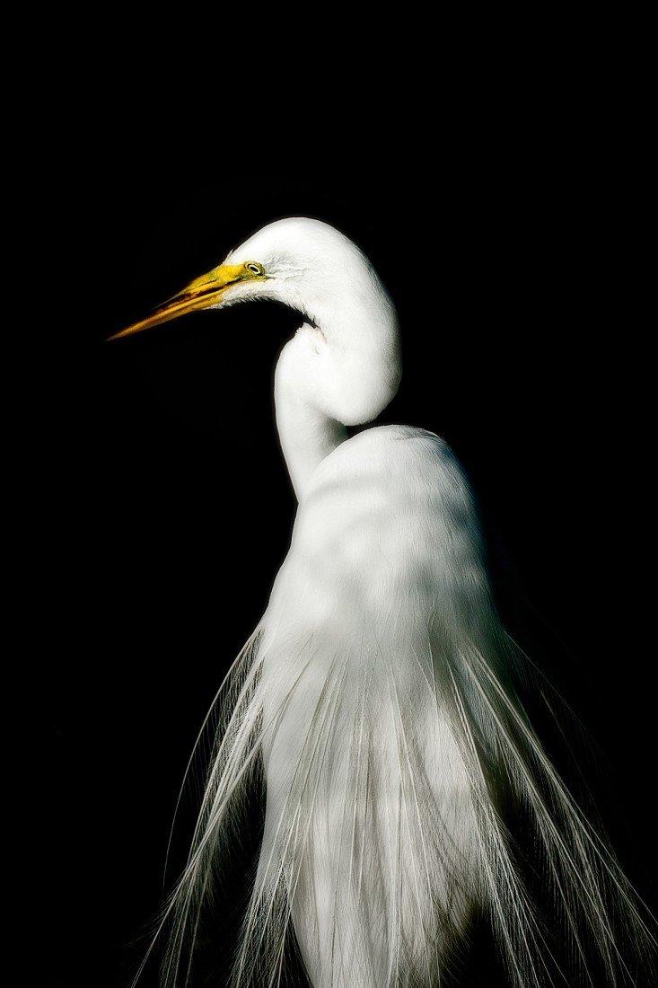 """23: """"Great Egret,"""" Virginia Aschmoneit"""