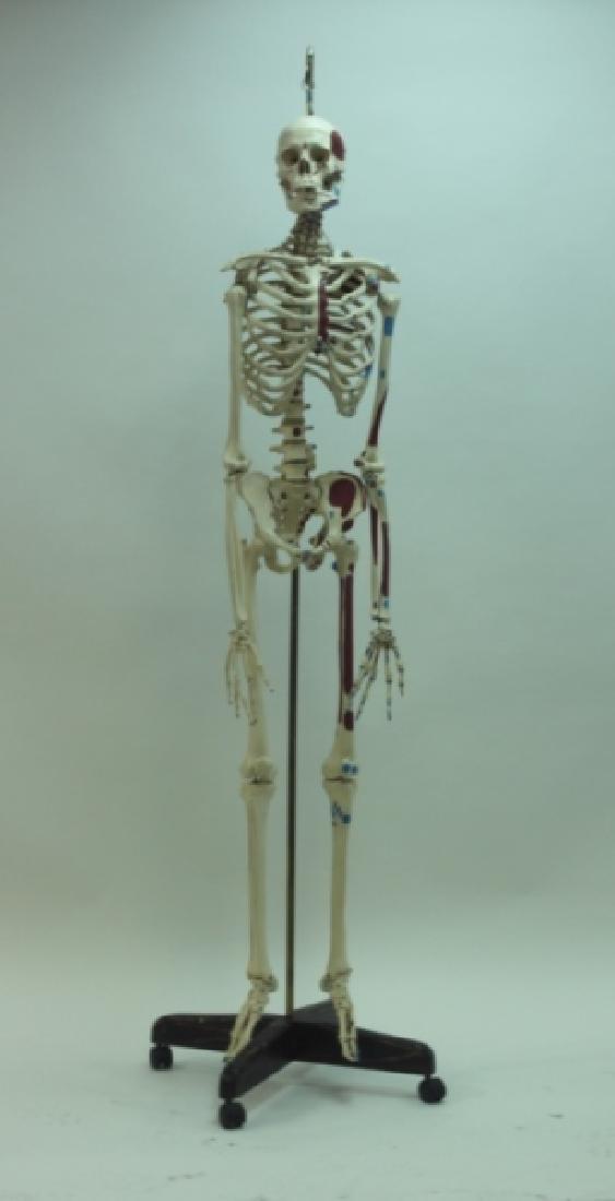 Vintage Human Skeleton Teachers Medical Model