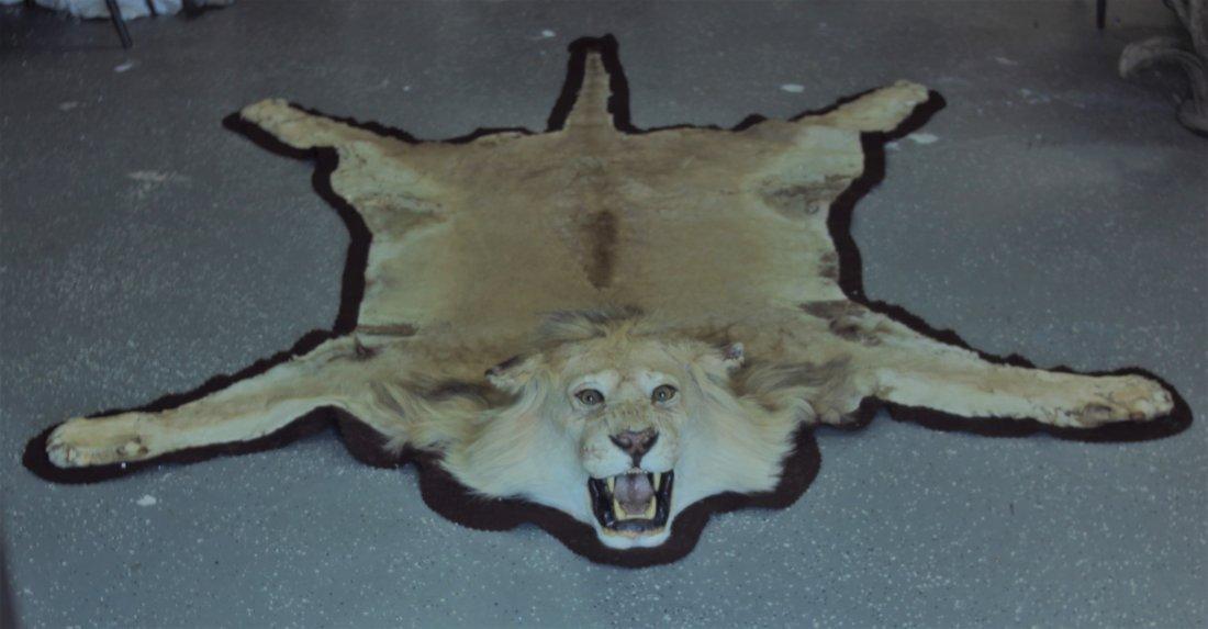 Vintage Male African Lion Skin Taxidermy Rug w  Head