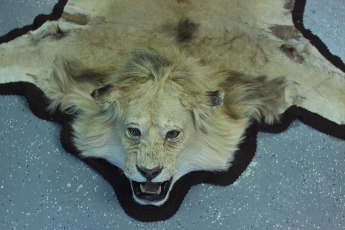 Vintage Male African Lion Skin Taxidermy Rug w  Head - 2