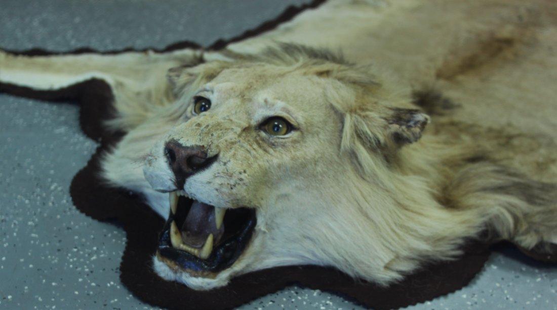 Vintage Male African Lion Skin Taxidermy Rug w  Head - 3