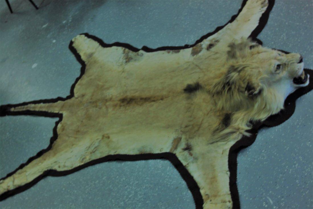 Vintage Male African Lion Skin Taxidermy Rug w  Head - 4