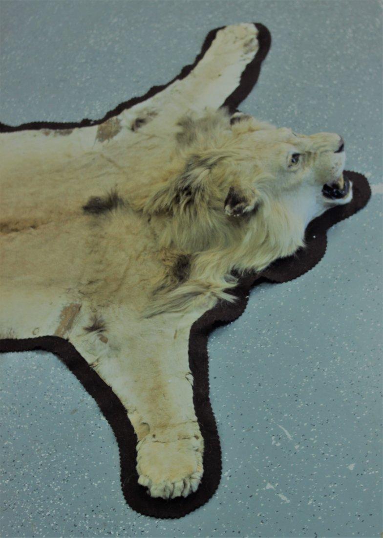 Vintage Male African Lion Skin Taxidermy Rug w  Head - 5