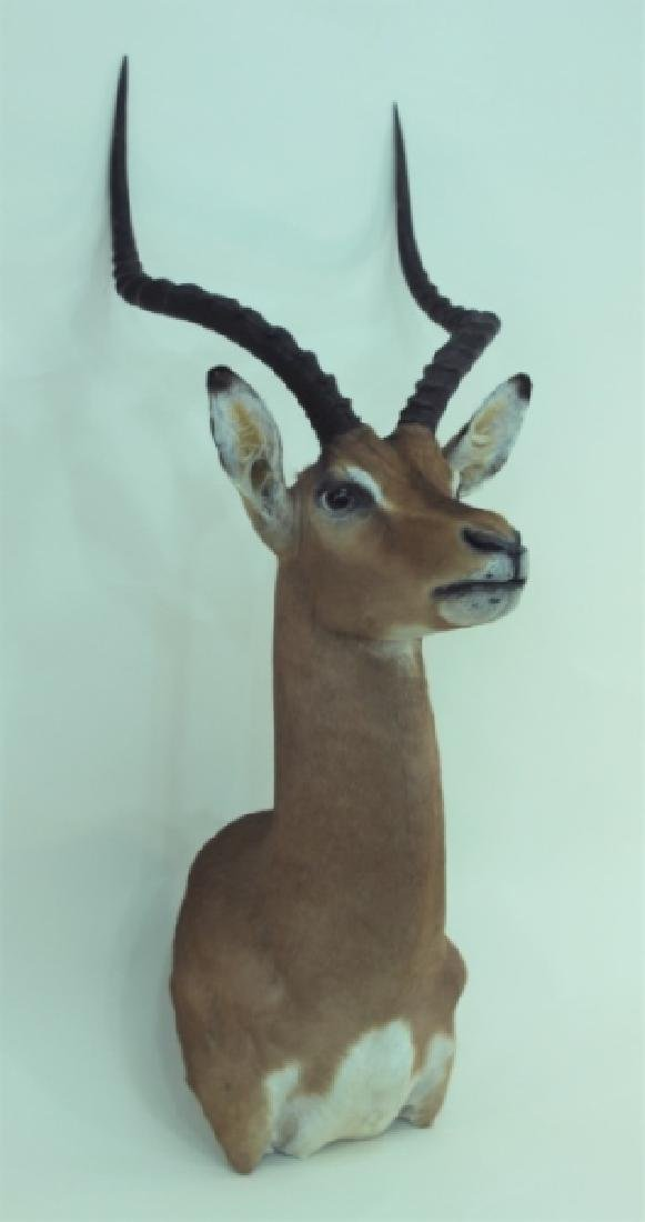 Gazelle Head & Shoulder Taxidermy Trophy WallMount
