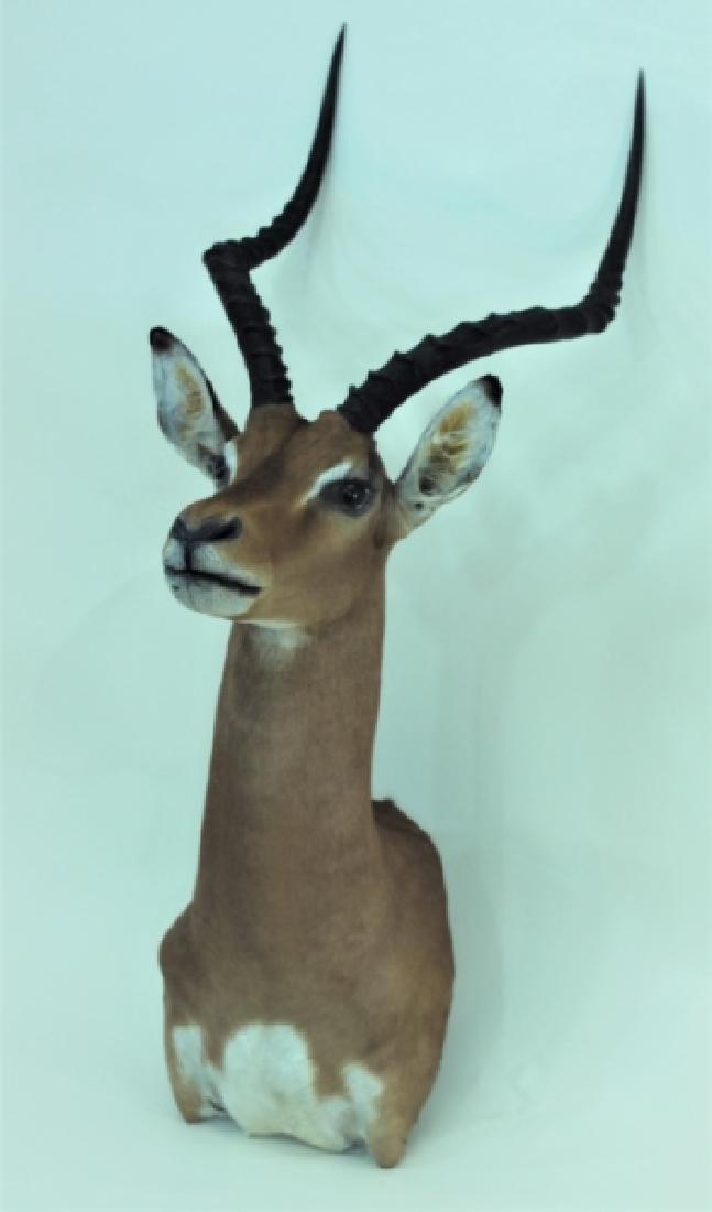 Gazelle Head & Shoulder Taxidermy Trophy WallMount - 2
