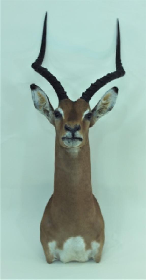 Gazelle Head & Shoulder Taxidermy Trophy WallMount - 3