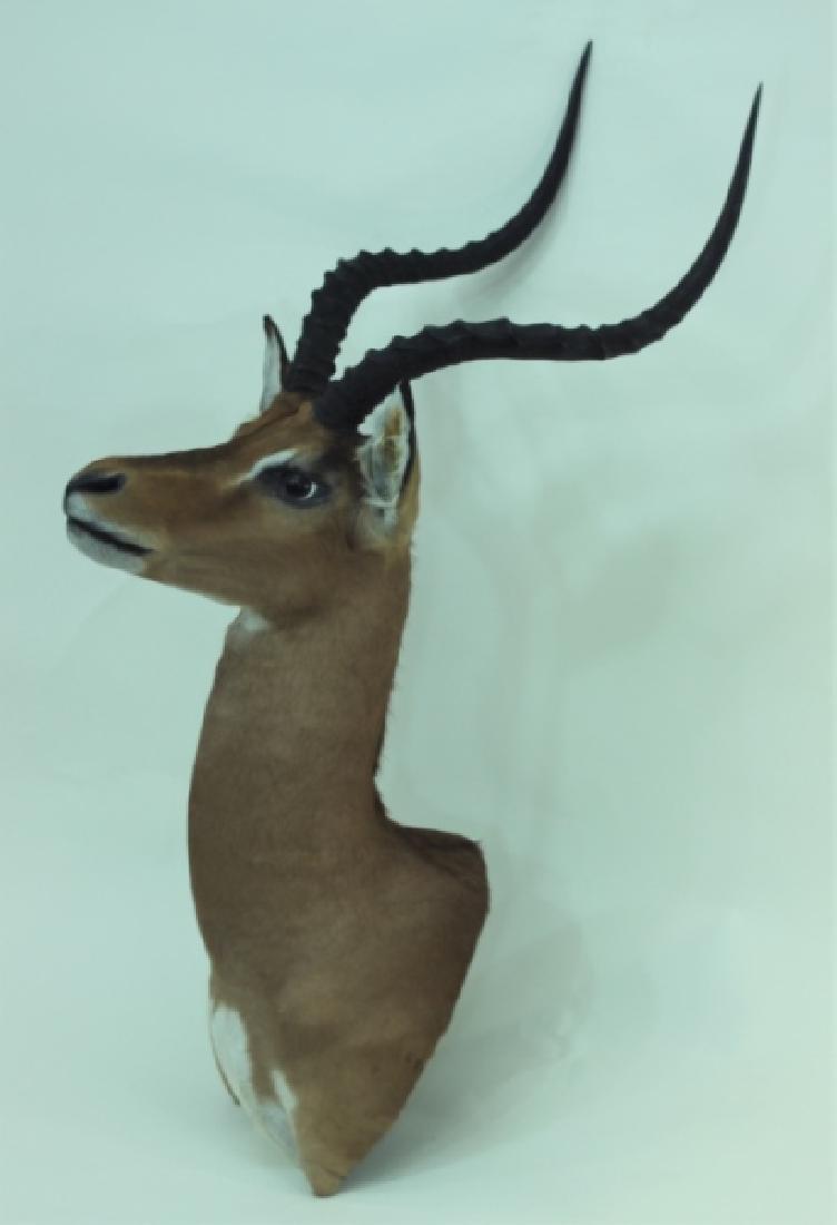 Gazelle Head & Shoulder Taxidermy Trophy WallMount - 4