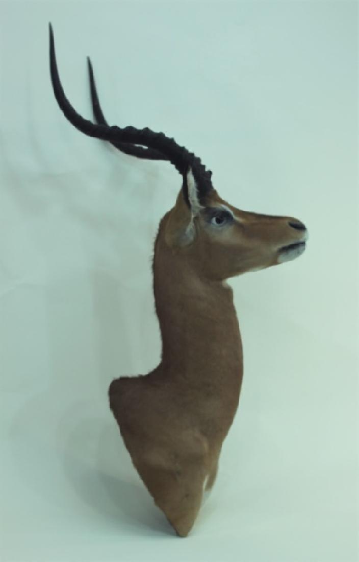 Gazelle Head & Shoulder Taxidermy Trophy WallMount - 6