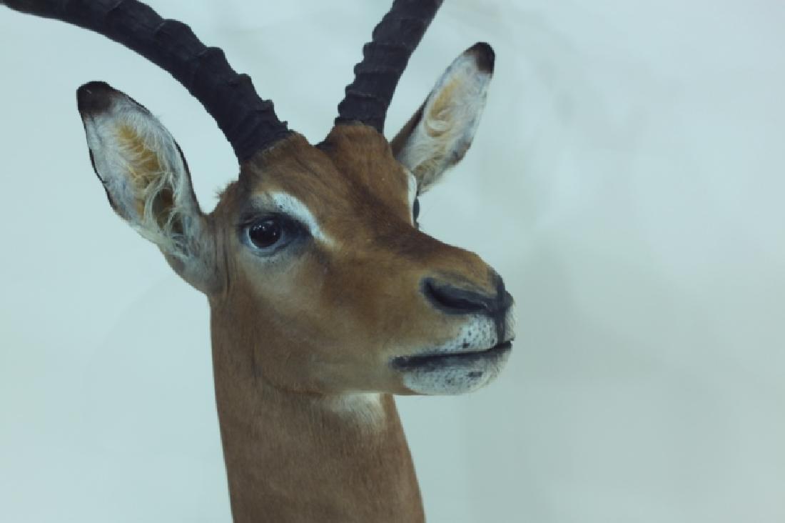 Gazelle Head & Shoulder Taxidermy Trophy WallMount - 7