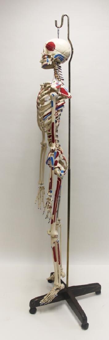 Vintage Human Skeleton Teachers Medical Model - 4