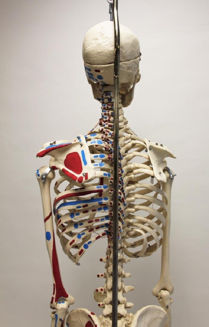 Vintage Human Skeleton Teachers Medical Model - 6
