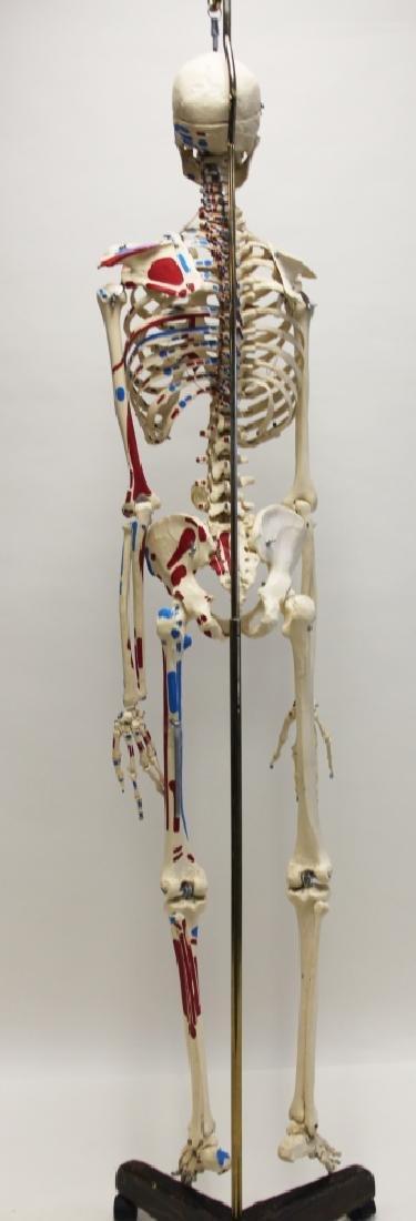 Vintage Human Skeleton Teachers Medical Model - 7