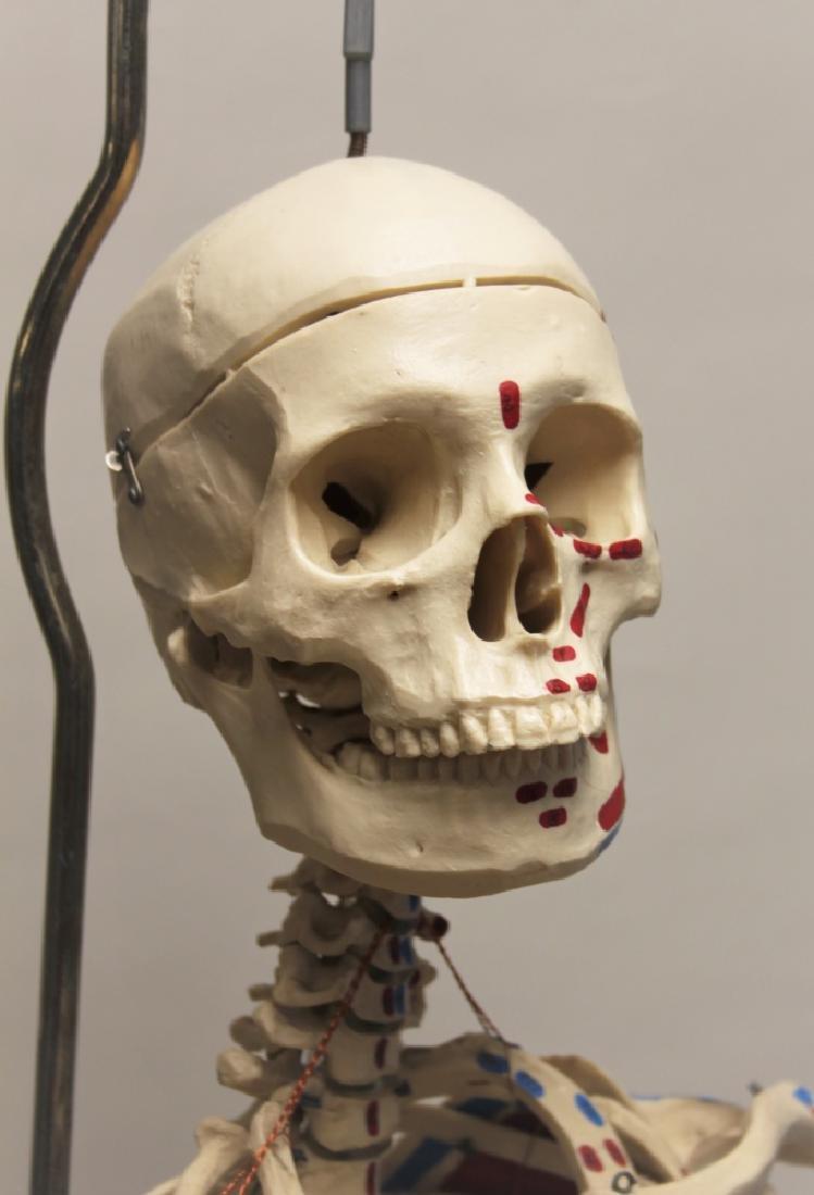 Vintage Human Skeleton Teachers Medical Model - 8