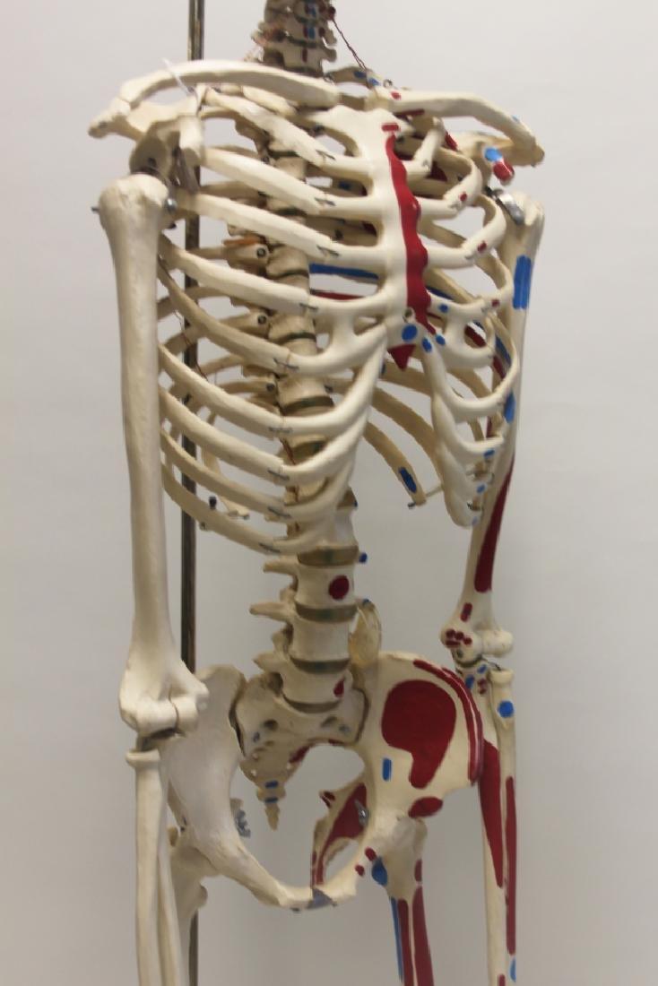 Vintage Human Skeleton Teachers Medical Model - 9
