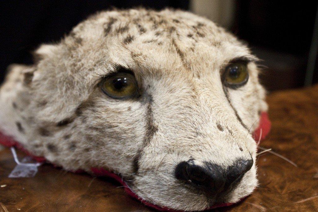 45: Vintage Felt Mounted Cheetah Hide And Head