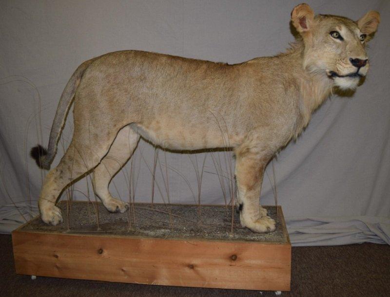Taxidermy Full Mount Female African Lion Savannah