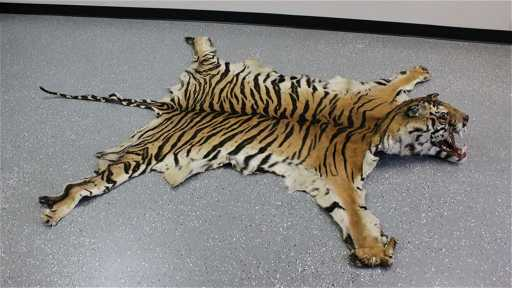 Full Mount Bengal Tiger Skin Rug