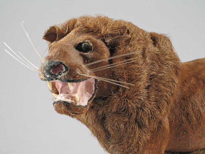 German Mohair Lion 1890\'s Exquisite - 3