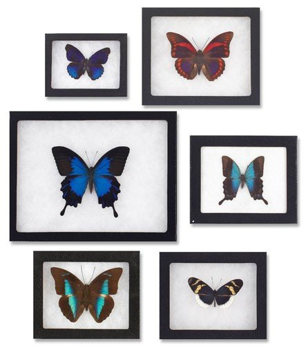 130: COLLECTION OF SIX MOUNTED BUTTERFLIES