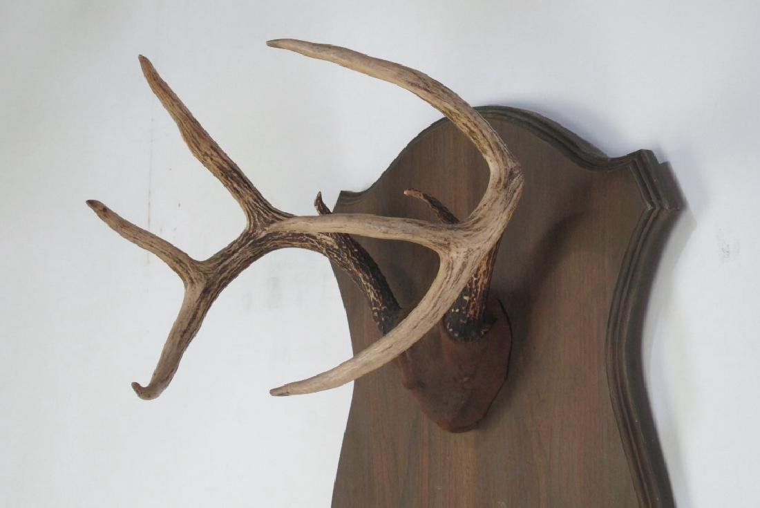 Mounted Antlers - 4