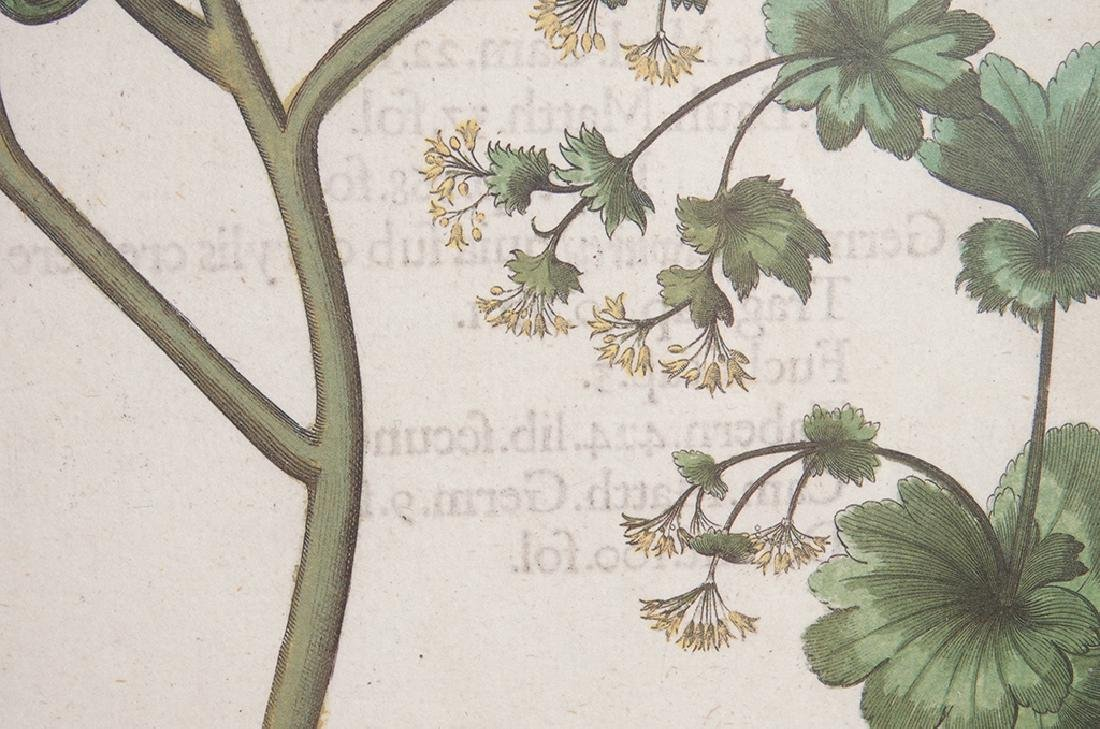 Pair of BESLER Botanical Prints - 9