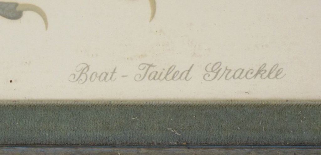 Boat Tail Grackle Print - 5