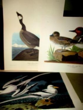 Portfolio of Audubon Prints