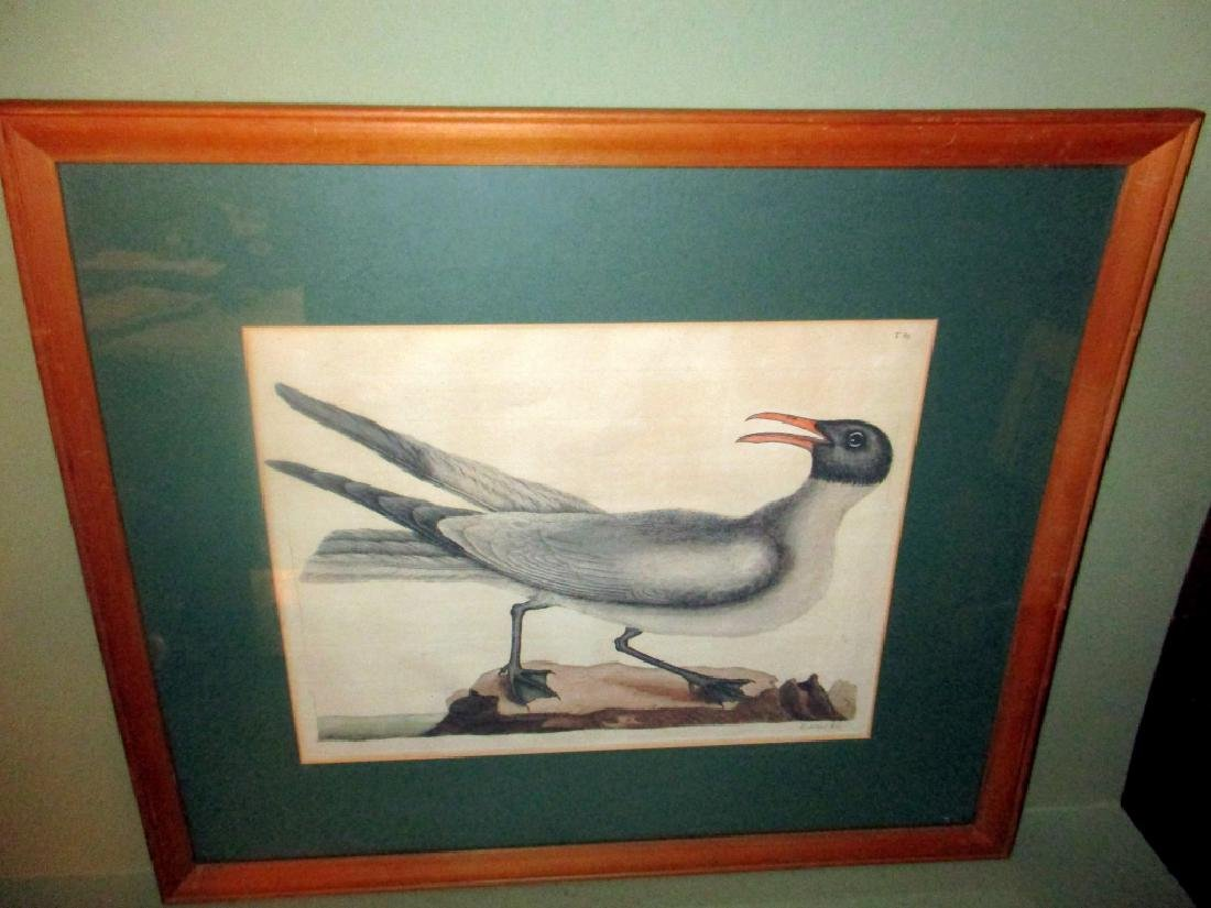 Early Hand Colored Engraving of Seagull