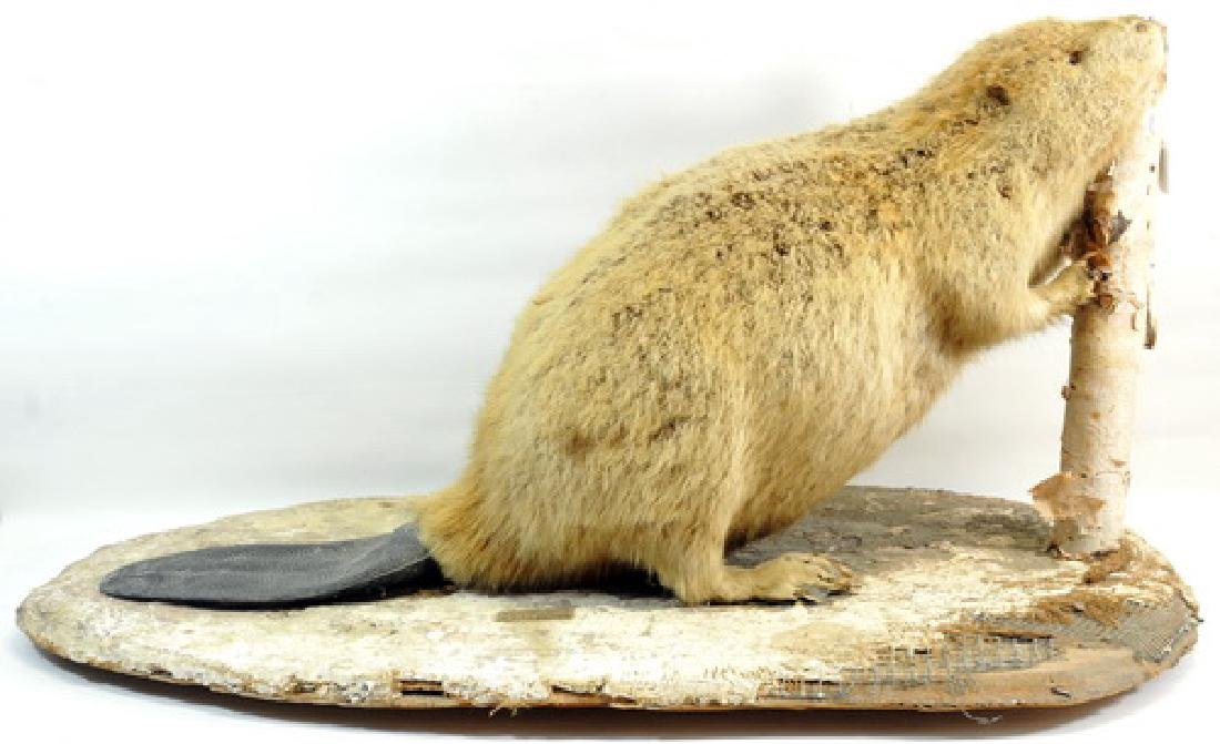 Vintage Full Mount Taxidermy Beaver