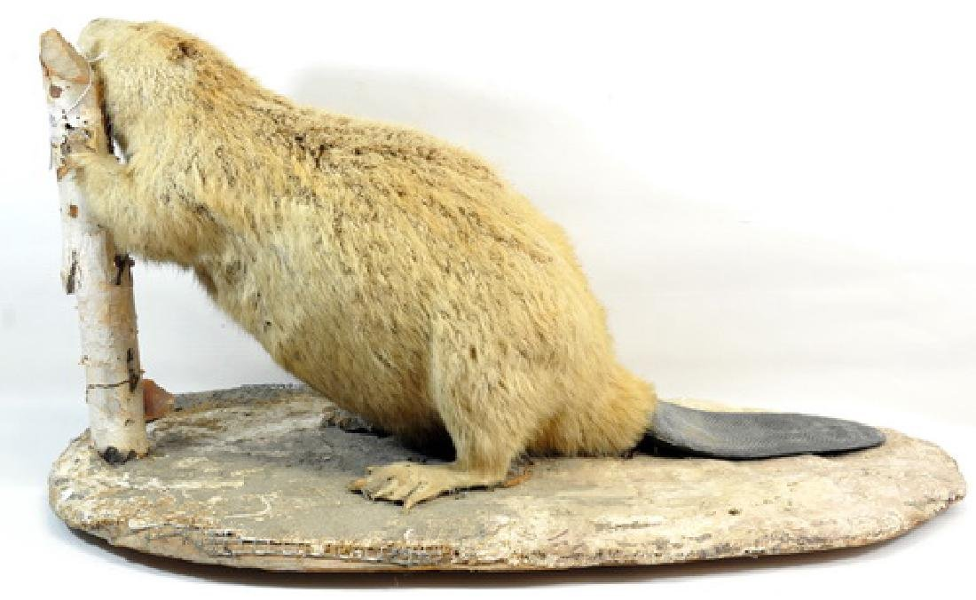 Vintage Full Mount Taxidermy Beaver - 2