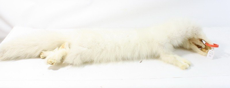 16: Artic Fox tanned hide