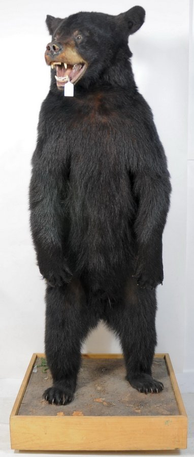 "1: Black Bear standing 5' high on a 23 X 23"" Base"