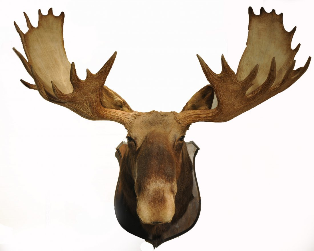 Giant Maine Moose Taxidermy Piece