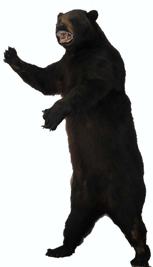 """8"""" Alaskan Brown Bear Mount"""