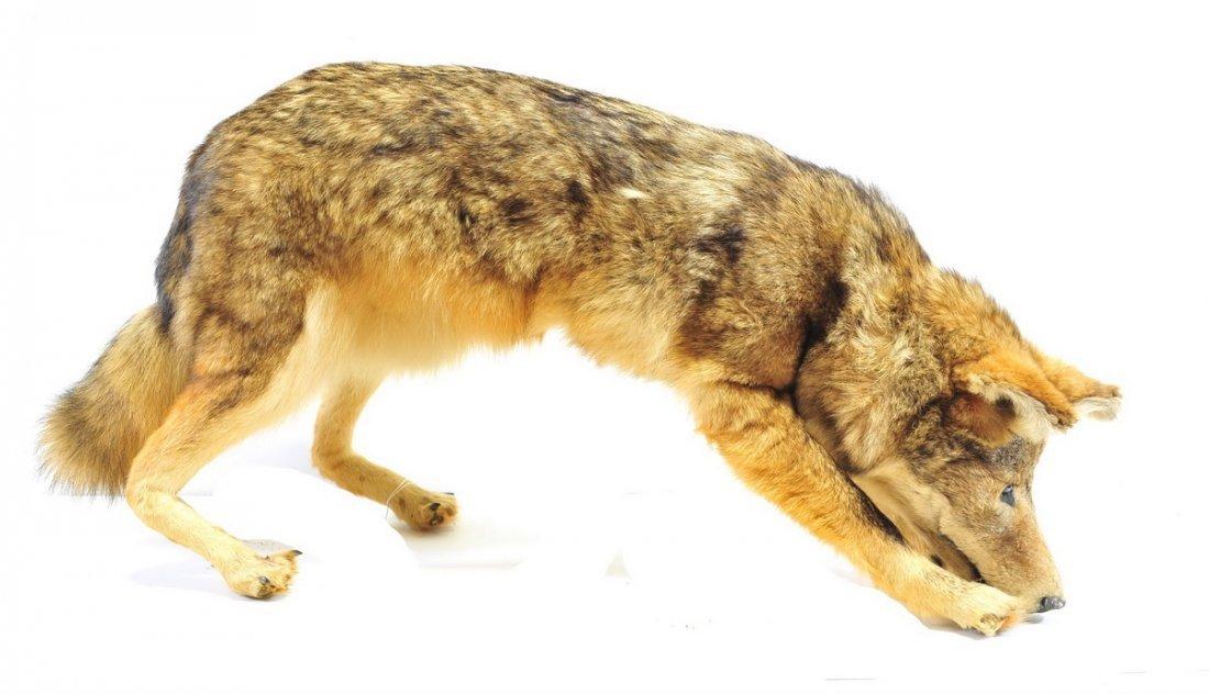 Vintage Coyote Mount - 2
