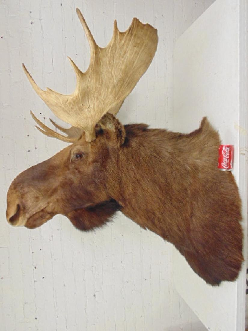 Moose taxidermy by James L. Clark