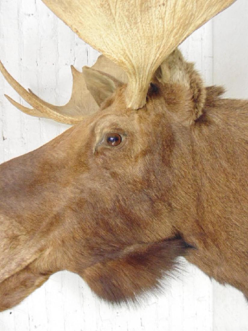 Moose taxidermy by James L. Clark - 2