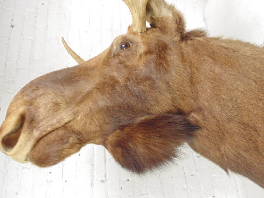 Moose taxidermy by James L. Clark - 3