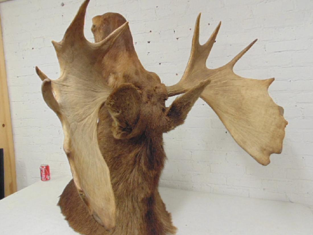 Moose taxidermy by James L. Clark - 4