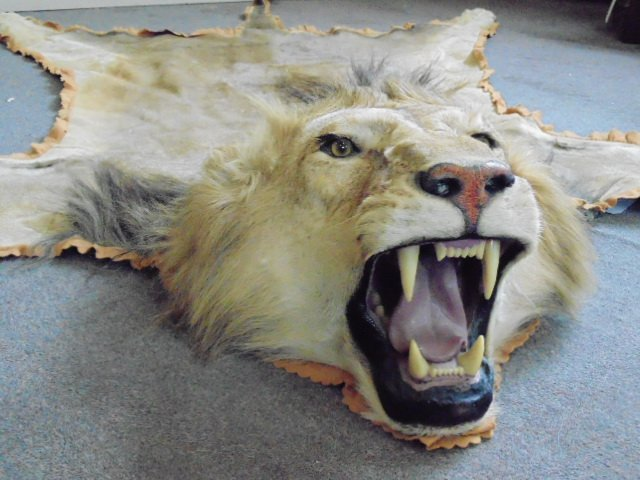 Mounted Lion Skin Rug,with Full Head Mount 1964, Good
