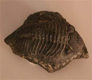 Phacops rana, fossil of a trilobite from the middle