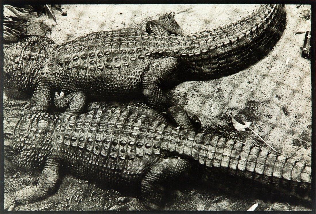 86: Peter Peryer, Alligators, Auckland Zoo