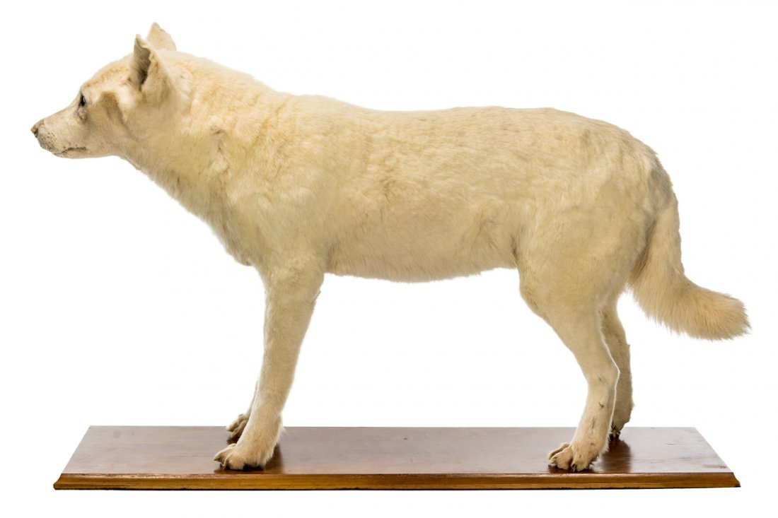A mid-19 th  century taxidermy Maori Kuri dog