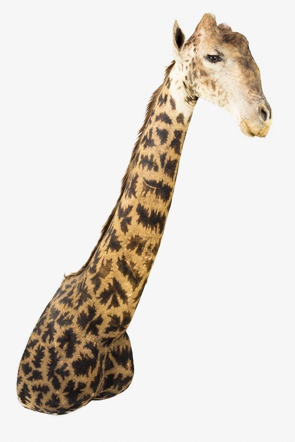 Maple leaf Giraffe